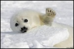 Baby Harp Seal in the snow waving