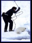 Hunter clubbing baby harp seal to death
