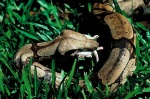 Boa Constrictor curled up in grass