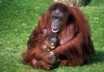 Orang-utan holding baby sitting on grass