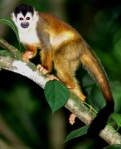 Squirrel monkey in tree