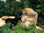 Female wolf with young cub