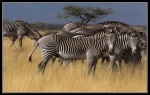 Zebra grazing on the veld