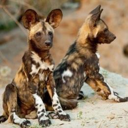 African wild dog pups