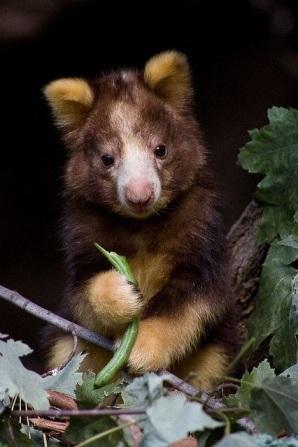Baby tree kangaroo