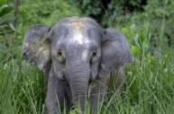 Borneo pygmy elephant