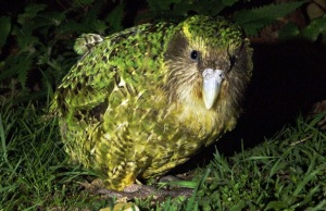 Kakapo on the ground