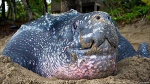 Leatherback sea turtle 3
