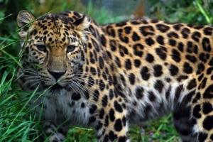 Amur leopard 3
