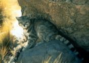Andean cat