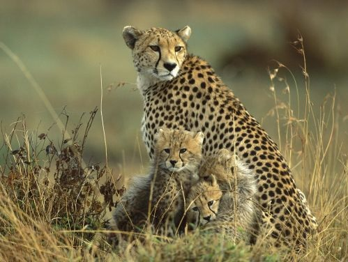 Iranian or Asiatic cheetah with cubs