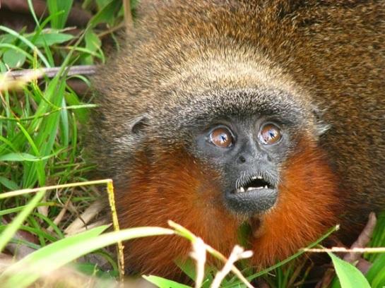 Caquetá Tití Monkey