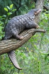 Chinese pangolin