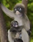 Dusky Langur with baby