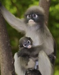 Dusky Langur with baby