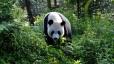 Giant panda - National Geographic