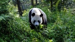 Giant panda - National Geographic