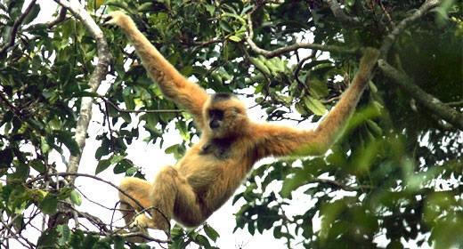 Hainan gibbon swinging through the trees