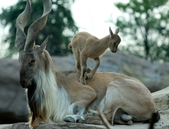 Markhor and kid