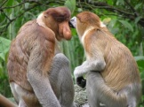 Proboscis monkeys