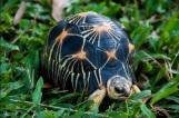 Radiated tortoise