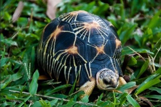 Radiated tortoise 3