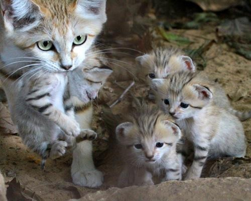 Sand cat and kits
