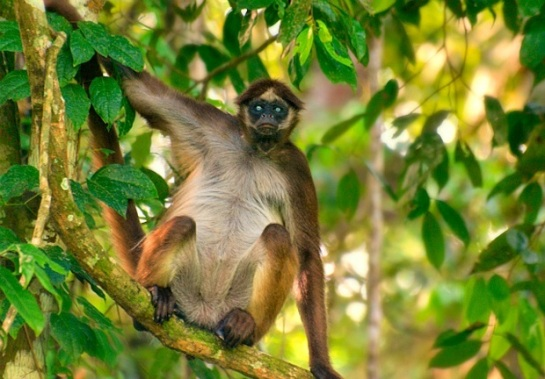 Spider monkey by Diane Duque