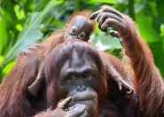Sumatran orangutan and baby