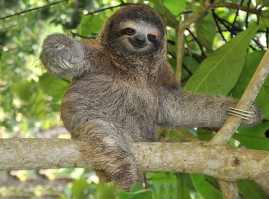 Smiling three-toed pygmy sloth