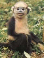 Tonkin snub-nosed monkey
