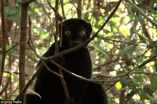 Blue-eyed black lemur in tree