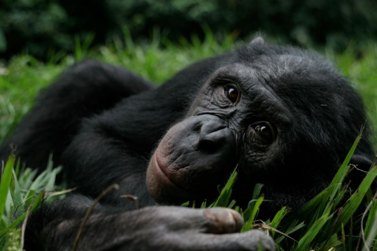 Bonobo lying in the grass