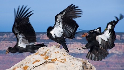 California condors from mother nature network