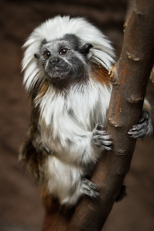 Cotton-top tamarin clinging to tree