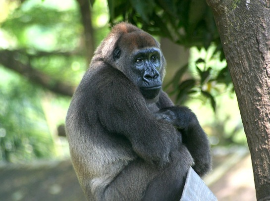 Cross river gorilla from the Limbe Wildlife Centre, Limbe, Cameroon.