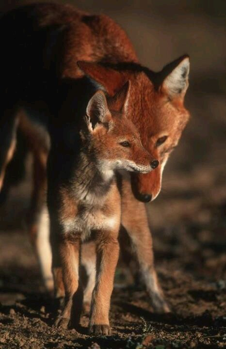 Ethiopian wolf and cub
