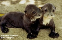 Giant otter cubs