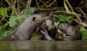 Giant otters