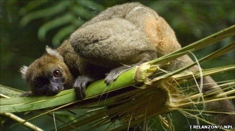 Greater bamboo lemur eating bamboo