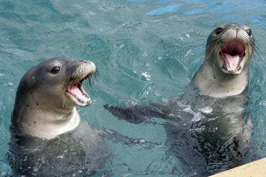 Hawaiian monk seals playing