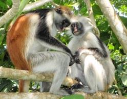 Kirk's red colobus monkeys