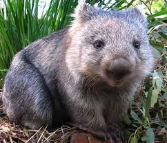 Northern hairy-nosed wombat