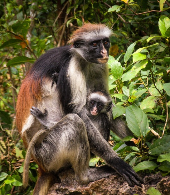 Red colobus and baby by David Edric