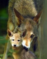 Red wolf with pup
