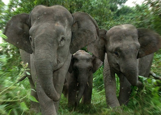 Sumatran elephants in the jungle