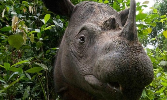 Sumatran Rhinoceros in close-up