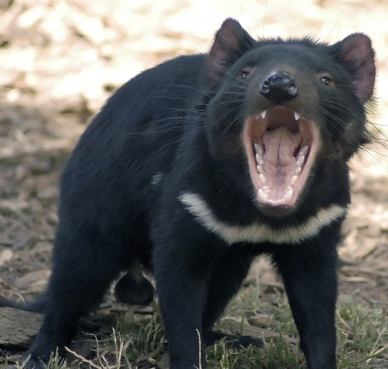 Tasmanian devil growling