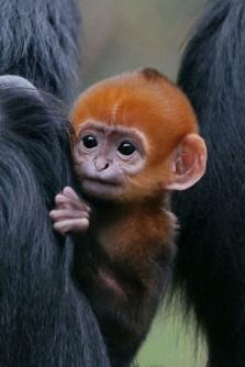 Baby langur