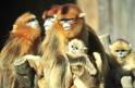 Yunnan snub-nosed monkeys